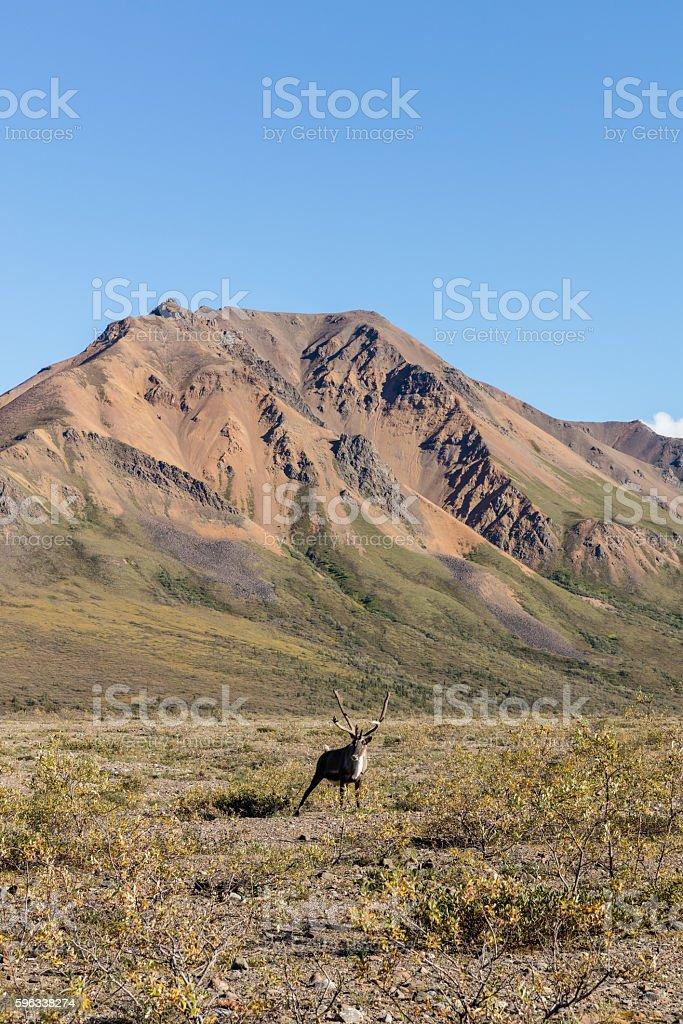 Barren Ground Caribou Bull Lizenzfreies stock-foto