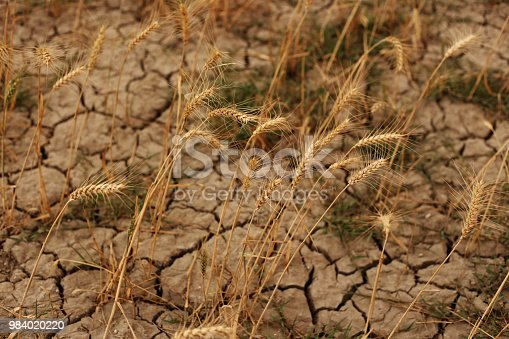 Wheat crop plants in drought land during summer season.