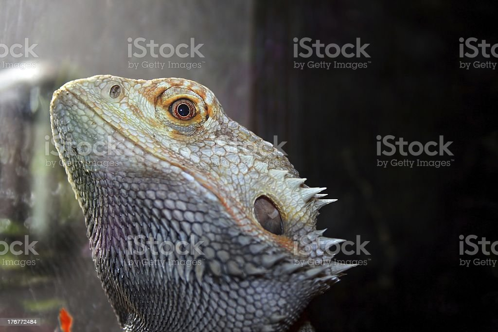 Bartagame royalty-free stock photo