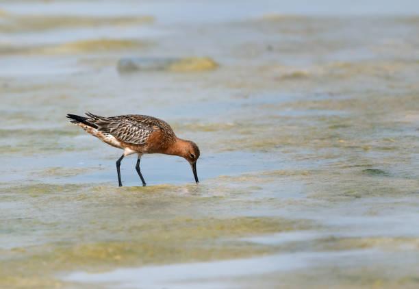 Bar-tailed Godwit in breeding plumage feeding at Busaiteen beach, Bahrain stock photo
