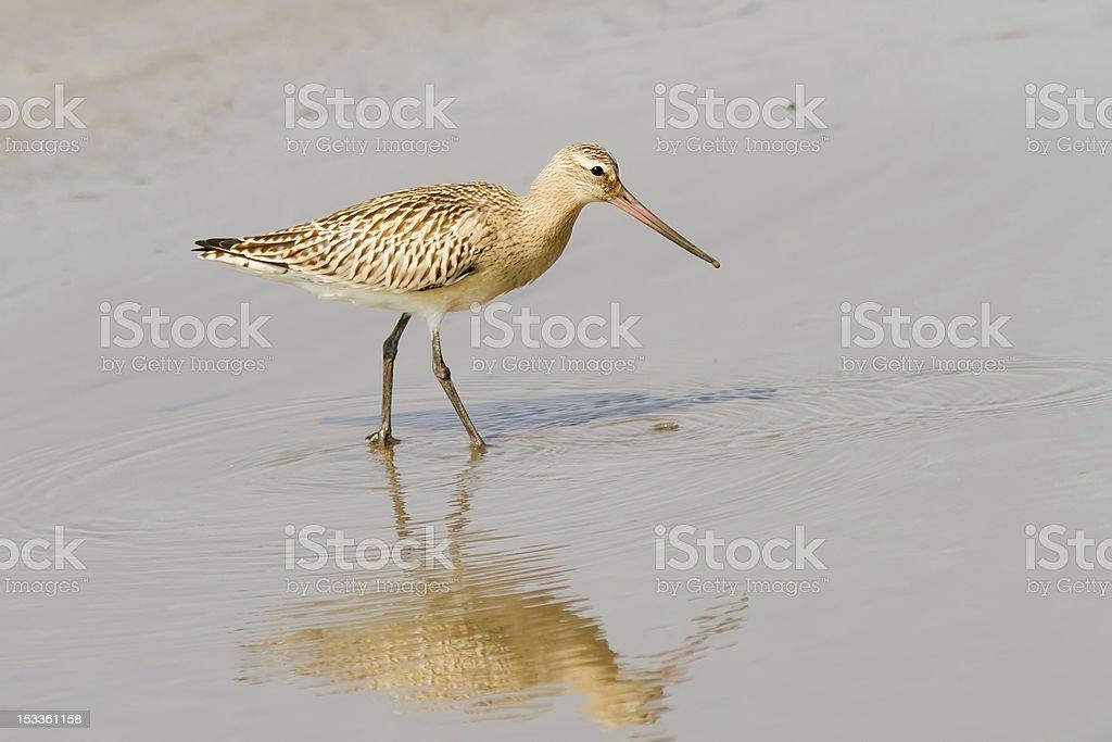 Bar-tailed Godwit stock photo