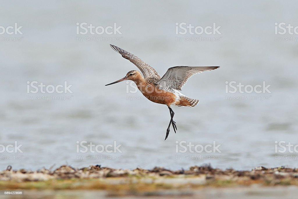Bar-tailed godwit (Limosa lapponica) stock photo