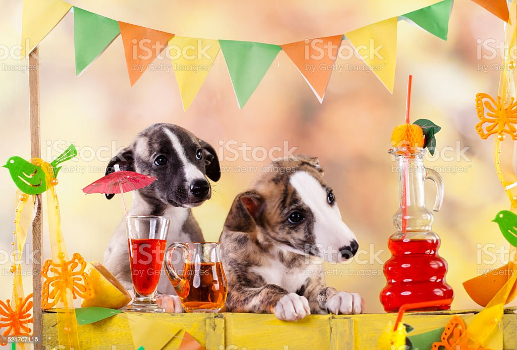bartender dachshund dogs bottle of lemonade stock photo