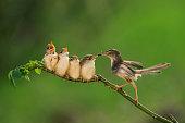 istock Bar-winged Prinia ( Cisticolidae )2 500578513