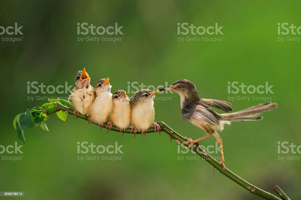 Bar-winged Prinia ( Cisticolidae )2 stock photo
