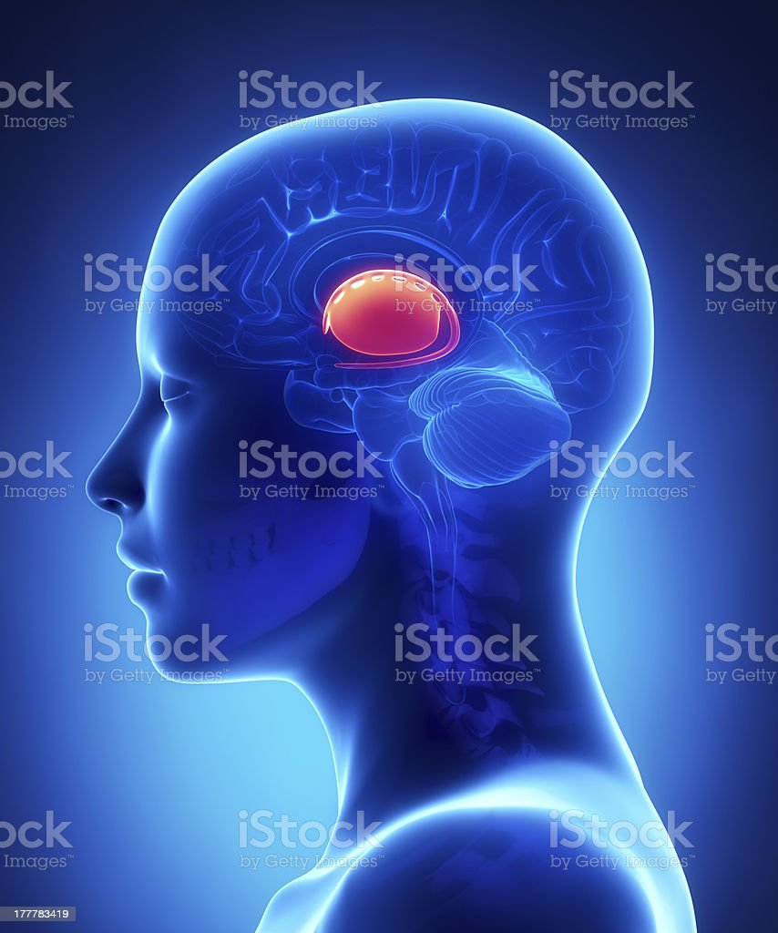 Basal Ganglia Female Brain Anatomy Lateral View Stock Photo More