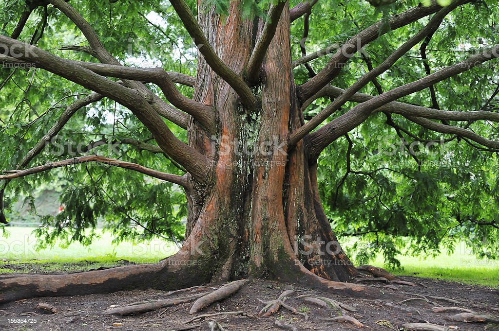 Base of an large sequoia tree with many branches stock photo