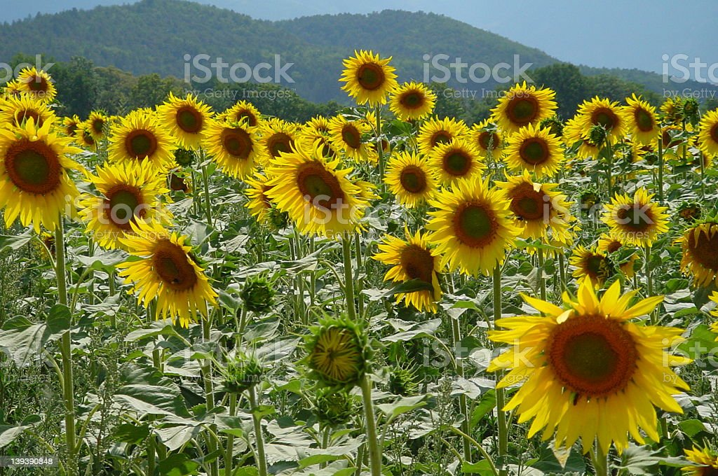 sous-sol-sunflower royalty-free stock photo