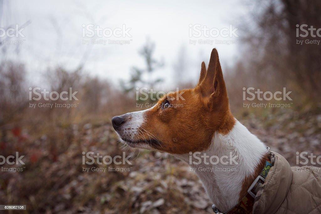 Basenji dog close-up portrait stock photo