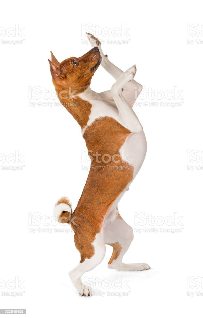 Basenji dog dancing stock photo