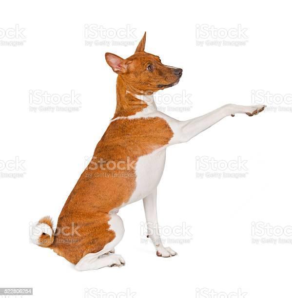 Basenji dog greeting picture id522806254?b=1&k=6&m=522806254&s=612x612&h=mwxc0k6ldayfgaetz  8cvxspt5lnt6amzyawmtkywu=