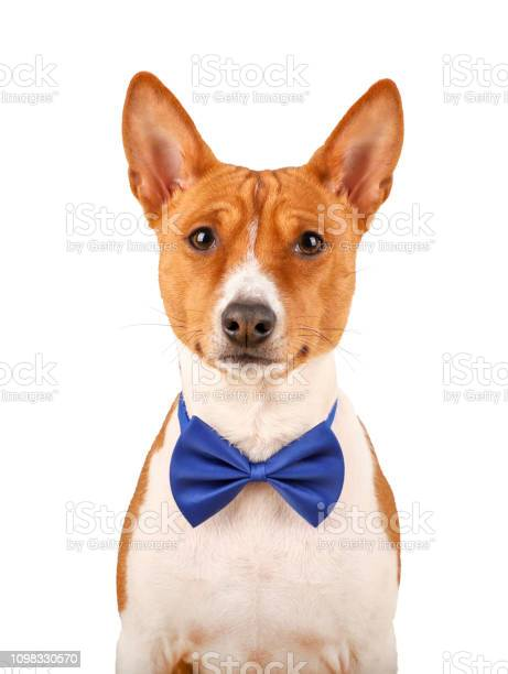 Basenji dog in a blue bow tie isolated on the white picture id1098330570?b=1&k=6&m=1098330570&s=612x612&h=0ciensjedrqfjen u3j3ou71h ymsdgnluzh5awqesw=