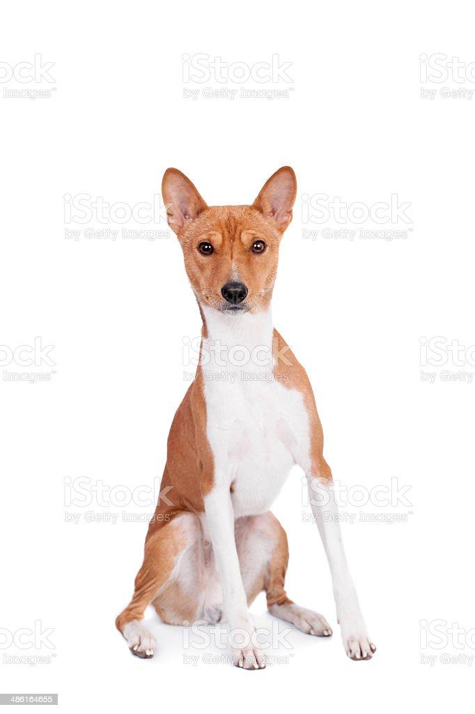 Basenji dog isolated on white royalty-free stock photo