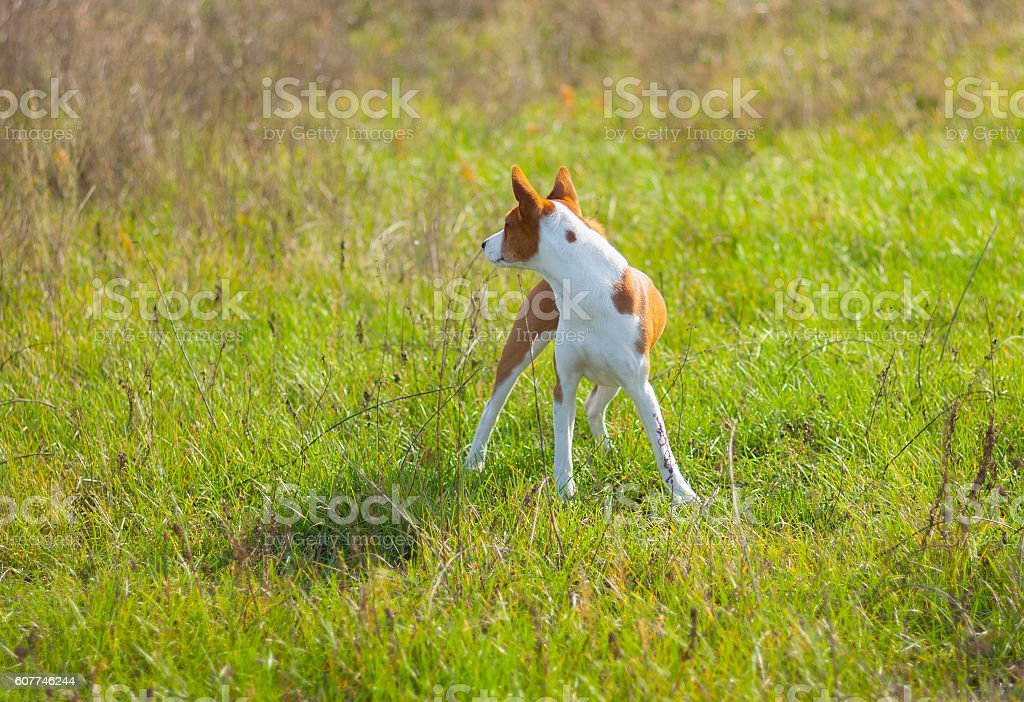 Basenji dog looking for prey in wild grass stock photo