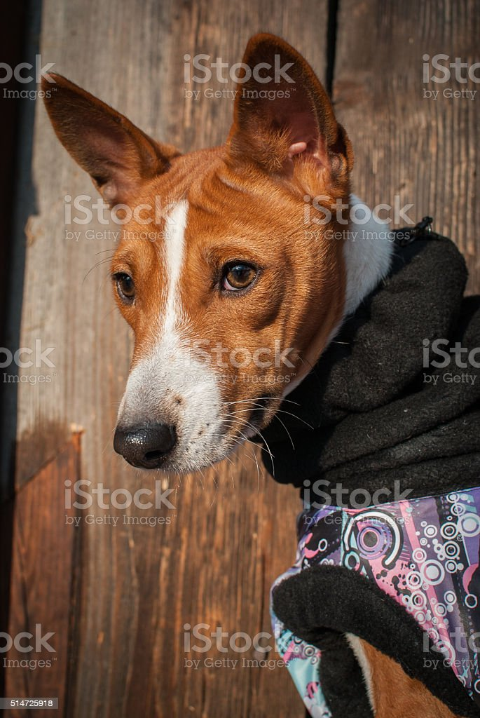 Basenji dog portrait in winter clothes stock photo