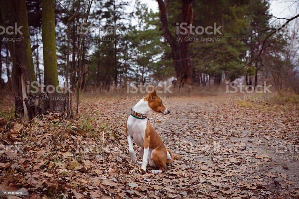 Basenji dog sits waiting for the host stock photo