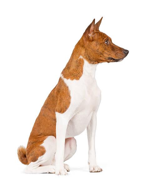 Basenji dog sitting picture id522847956?b=1&k=6&m=522847956&s=612x612&w=0&h=iom4 4aptlzj1kcswznxsotjaiiokes74nnylfqikmk=