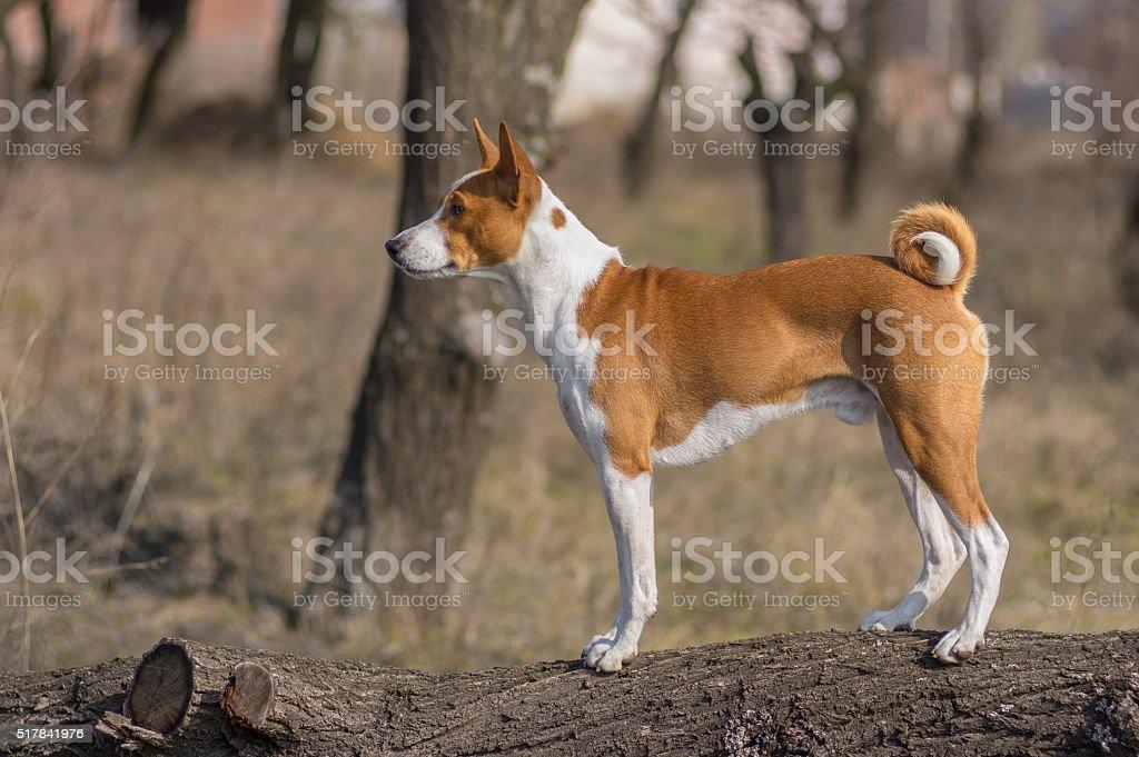 Basenji dog standing on a tree branch stock photo