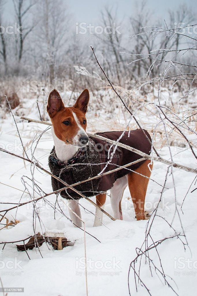 Basenji dog. Walk winter forest stock photo