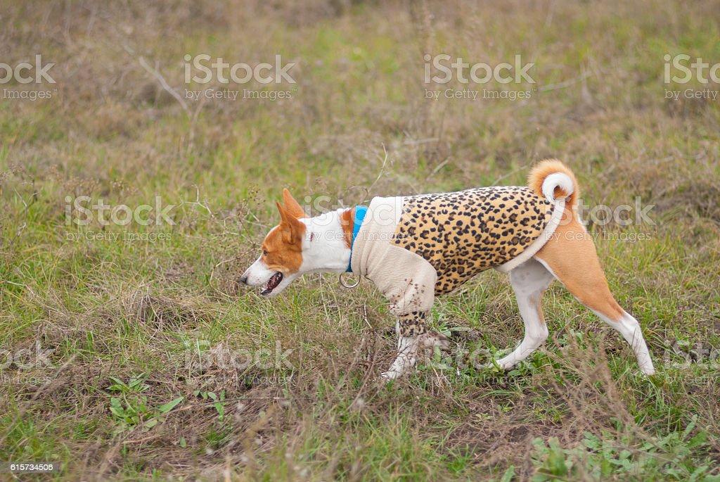 Basenji dog wearing leopard style coat hunting outdoors stock photo