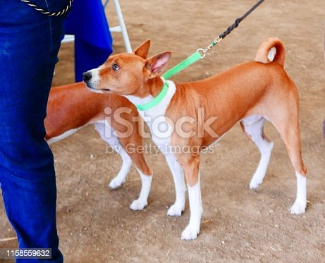 A pair of purebred Basenji Dogs out for a walk