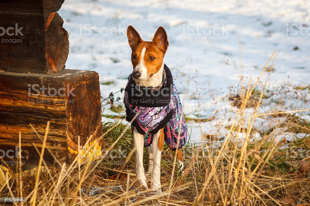 Basenji in winter clothes. stock photo
