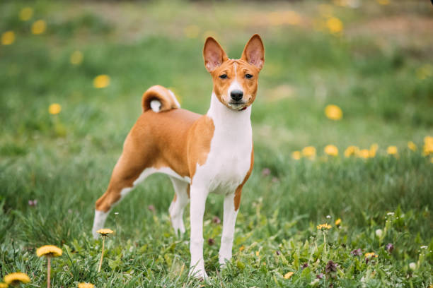 Basenji Kongo Terrier Dog. The Basenji Is A Breed Of Hunting Dog. It Was Bred From Stock That Originated In Central Africa stock photo