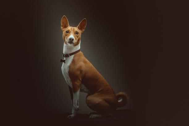 Basenji Terrier Dog stock photo