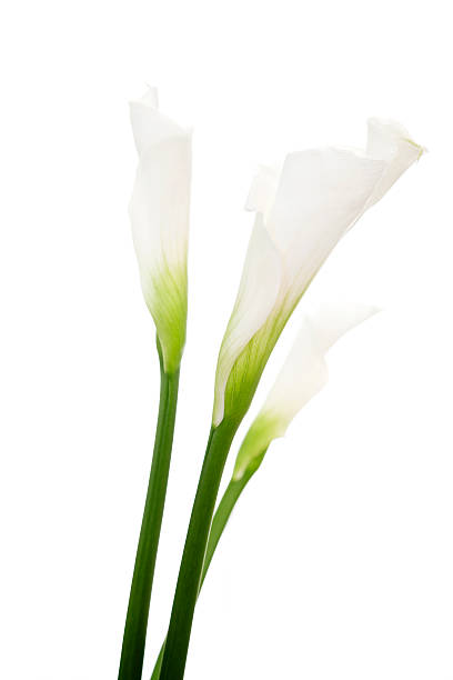 Basic close-up shot of calla lilies stock photo
