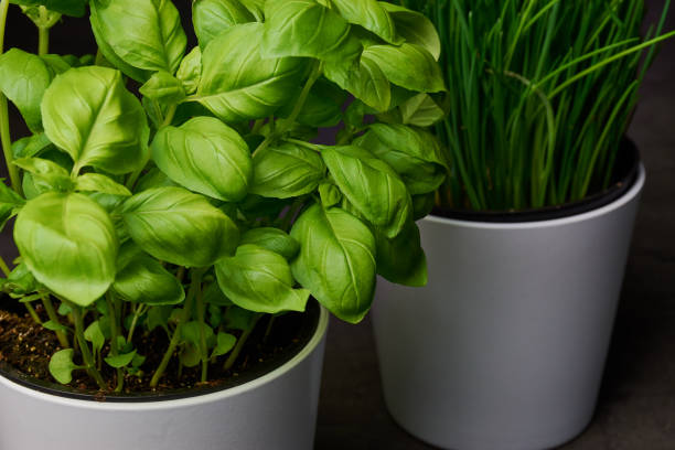 Basil and chives in a flower pot stock photo