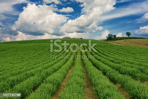 istock Basil crops over a blue sky with clouds. Coriano, Emilia Romagna countryside, Italy 1027742798