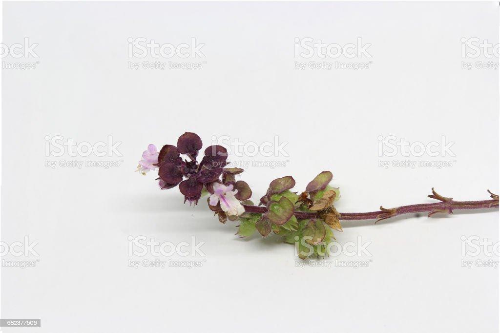 Basil bloemen branc royalty free stockfoto