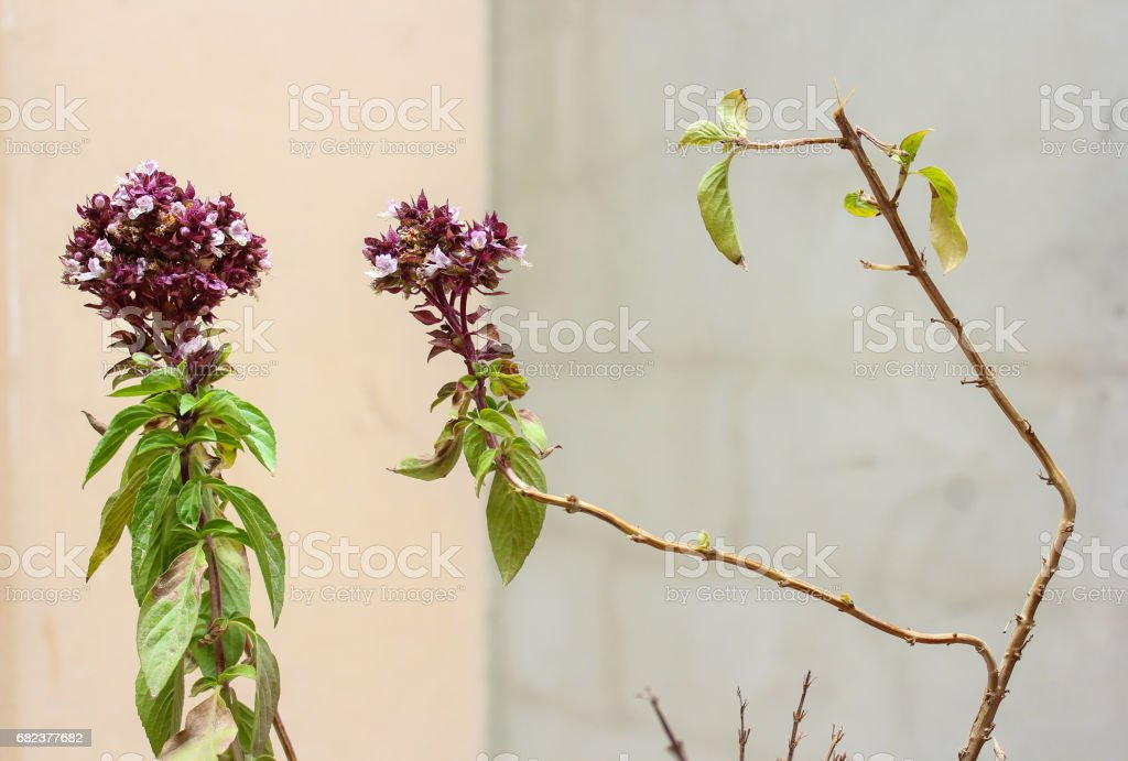 basil flowers branches stock photo