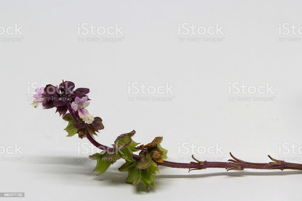 basil flowers foto stock royalty-free