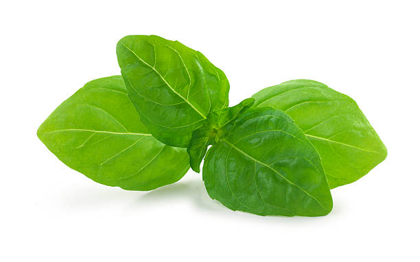 basil fresh - basil stock photos and pictures