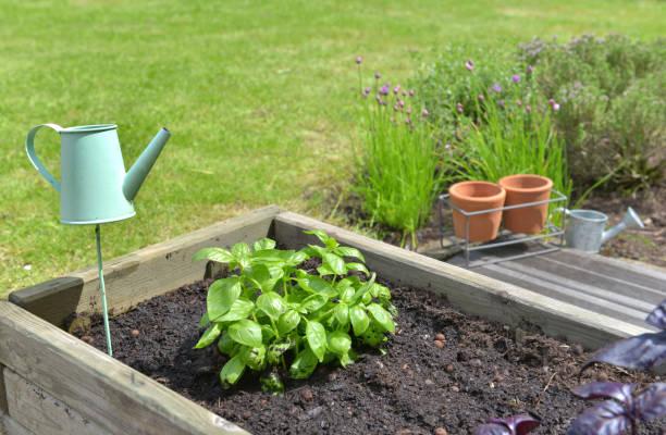 albahaca que crece en una bañera de madera junto a otras plantas aromáticas - foto de stock