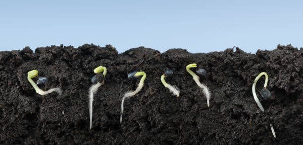 Basil growing seeds in soil stock photo