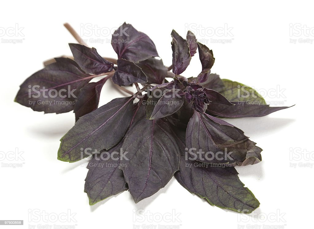 Basil herb royalty-free stock photo