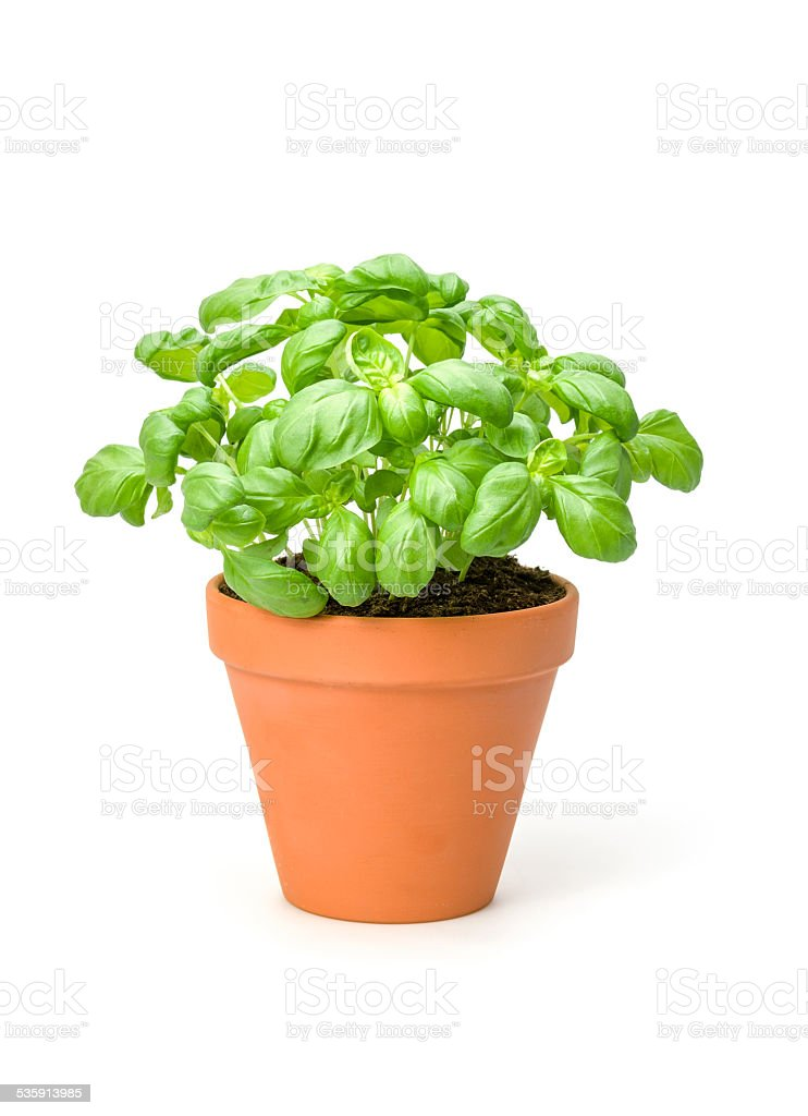 Basil in a clay pot stock photo