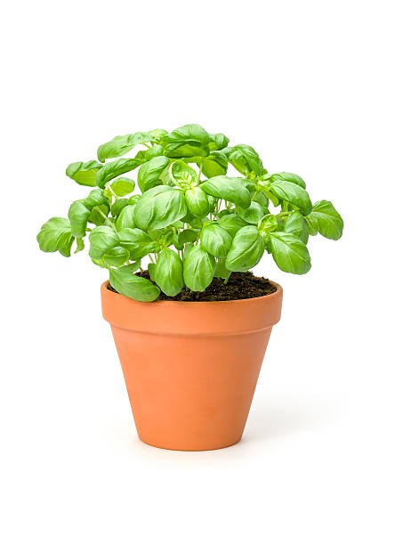 Basil in a clay pot Basil in a clay pot basil stock pictures, royalty-free photos & images
