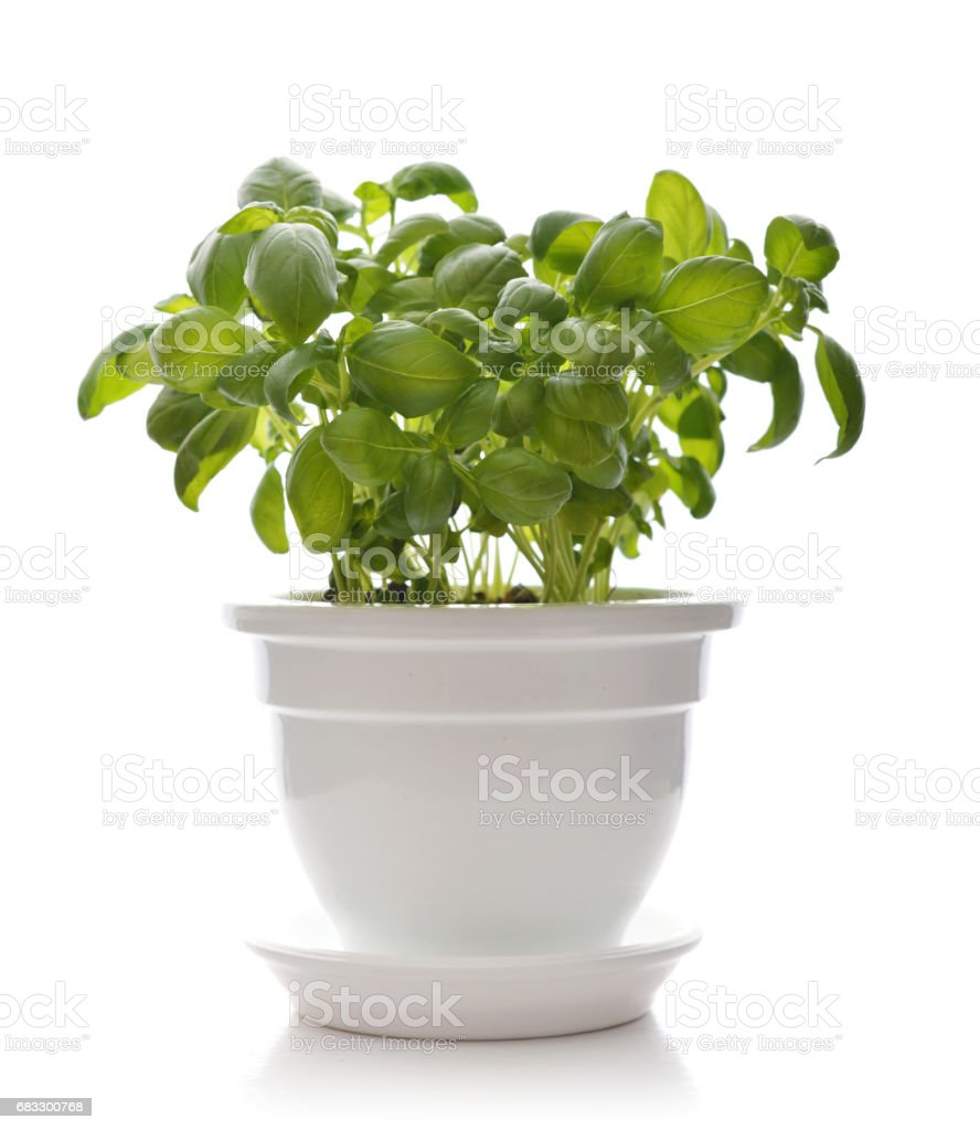 Basil in a white clay pot royalty free stockfoto