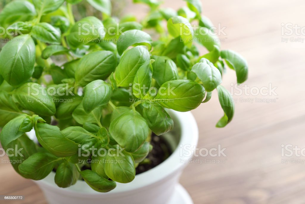 Basil in a white clay pot zbiór zdjęć royalty-free