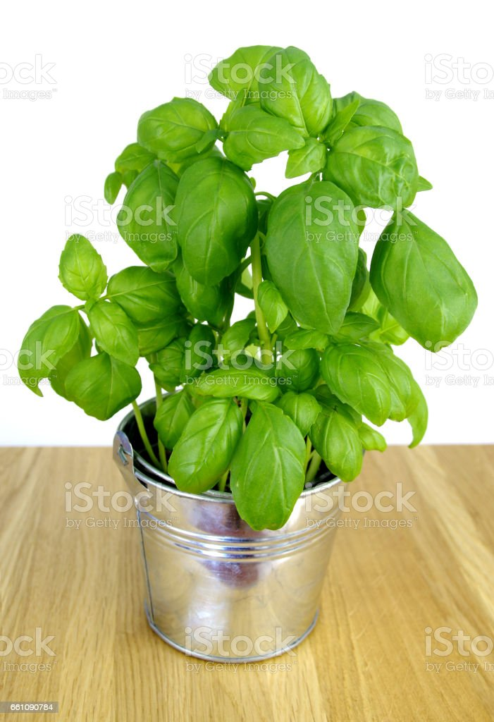 Basil in metal bucket on table stock photo