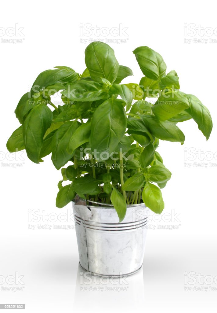 Basil in metal bucket stock photo