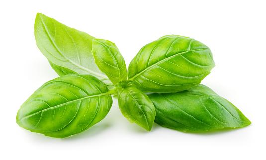 Basil isolated. Basil leaf on white. Basil leaves side view. Full depth of field.
