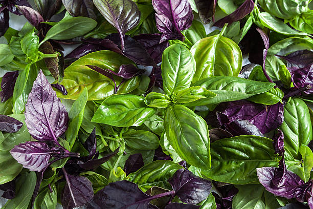 basil leaf - basil stock photos and pictures
