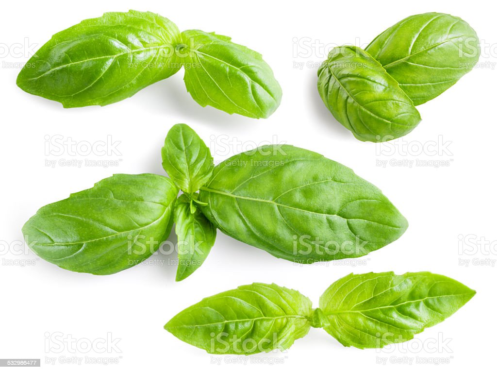 Basil leaves isolated. Collection stock photo