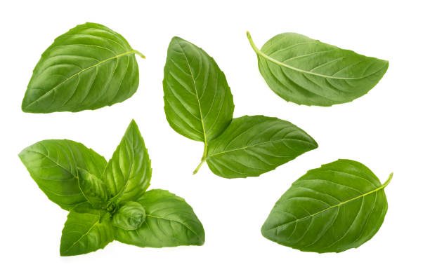 basil leaves isolated on white background - basil stock photos and pictures