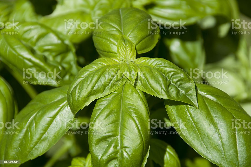 Basil leaves royalty-free stock photo