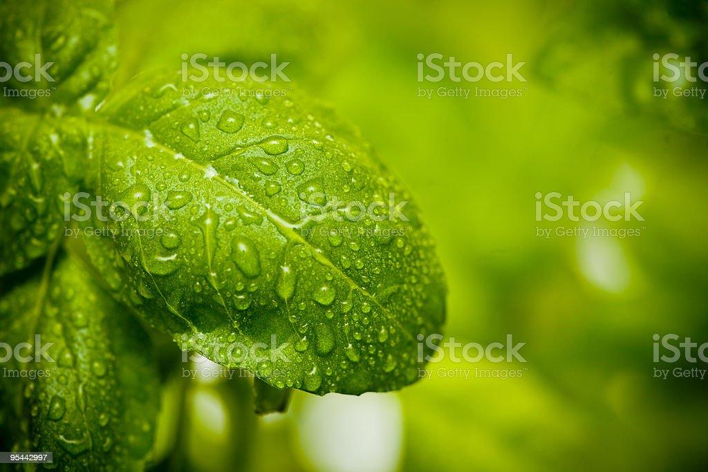 Basil Leaves royalty-free stock photo